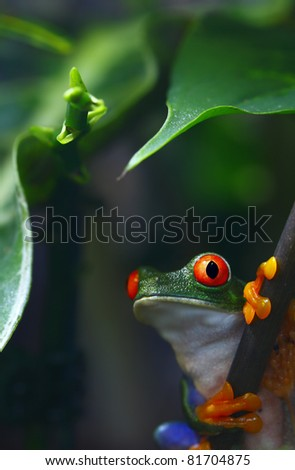 Red-Eyed Tree Frog. - stock photo