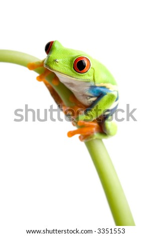 red-eyed tree frog (Agalychnis callidryas) on stem of plant, closeup isolated on white with focus on eye - stock photo