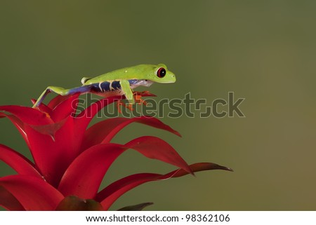 Red-eyed Tree Frog (Agalychnis Callidryas) sitting on a Bromelia - stock photo
