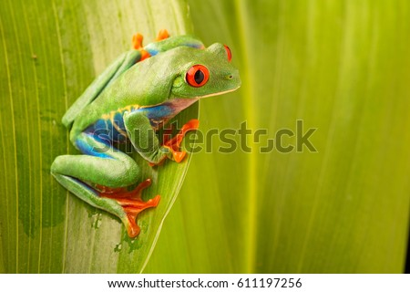 red eyed tree frog, Agalychnis callydrias. A vivid amphibian from the rain forest of central America. An animal with vibrant eye.