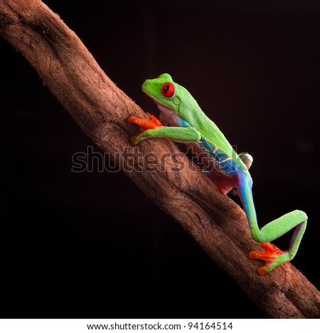 red eyed tree frog at night in tropical rainforest treefrog Agalychnis callydrias in jungle Costa Rica bright vivid colors climbing on branch - stock photo