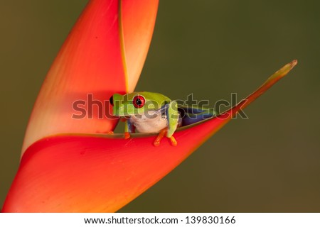 Red eyed Tree frog climbing a red flower - stock photo