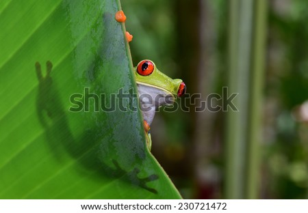 red eyed tree frog commonly called green tree frog on leaf showing silhouette and striking red eyes and orange feet in costa rica tropical rainforest jungle - stock photo