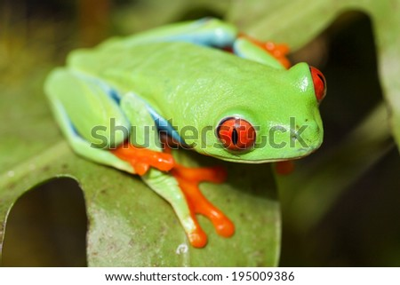 red eyed tree frog crawling between leafs in jungle at border of Panama and Costa Rica in the tropical rain-forest, cute night animal with vivid colors - stock photo