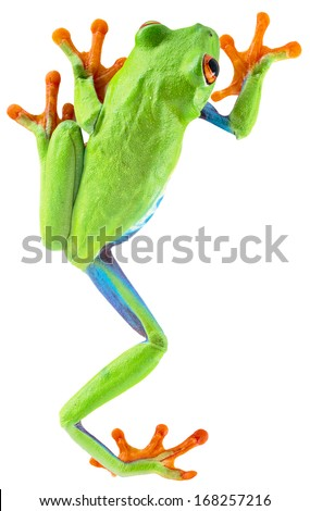 red eyed tree frog from tropical rainforest of Costa Rica isolated on white. Beautiful green and blue treefrog is an exotic animal from the rain forest. Agalychnis callidrias - stock photo