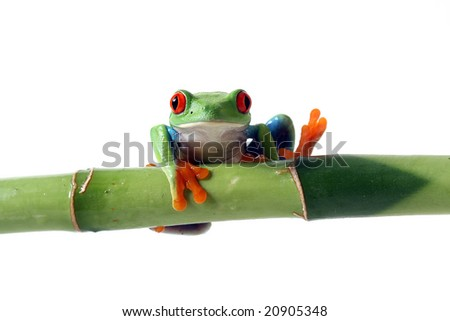 Red-Eyed Tree Frog on Bamboo with one foot in the air.  Isolated on white. - stock photo