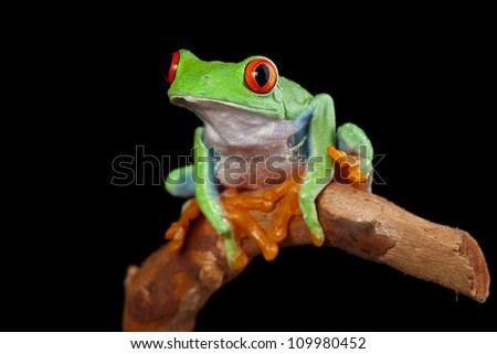 red eyed tree frog on branch in rainforest Costa Rica curious cute night animal tropical exotic amphibian - stock photo