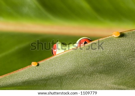 Red Eyed Tree Frog on peering out from leaf - stock photo