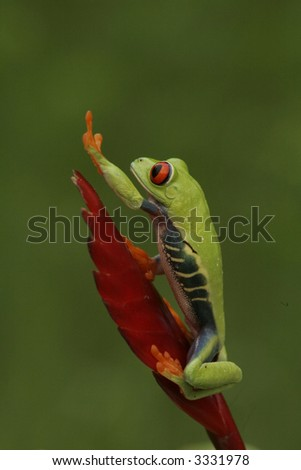 Red eyed Tree Frog Pointing to the Sky - stock photo