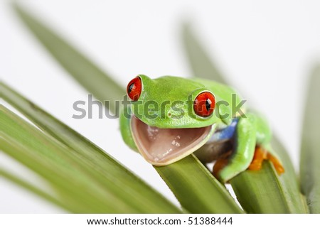 Red eyed tree frog sitting on leaf