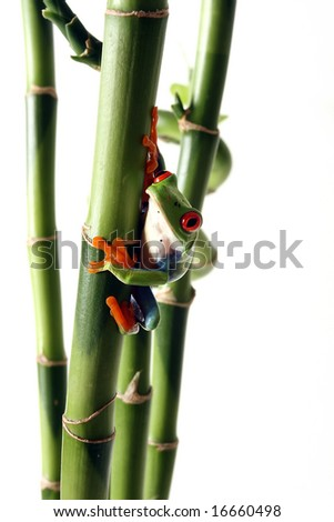 Red-Eyed Tree Frog with Bamboo.  Isolated on white background. - stock photo