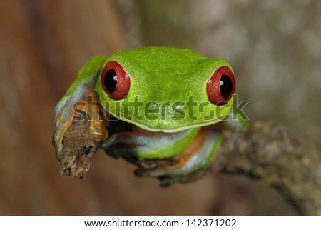 Red-eyed Treefrog (Agalychnis callidryas) in Costa Rica rainforest - stock photo