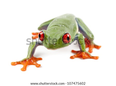 Red-eyed Treefrog, Agalychnis callidryas, portrait against white background - stock photo