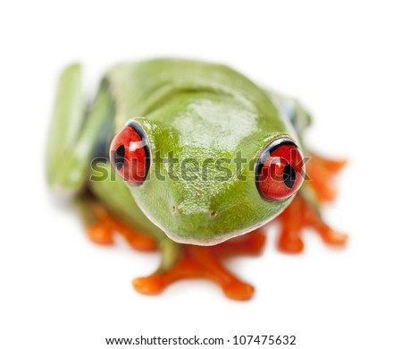 Red-eyed Treefrog, Agalychnis callidryas, portrait and close up against white background - stock photo