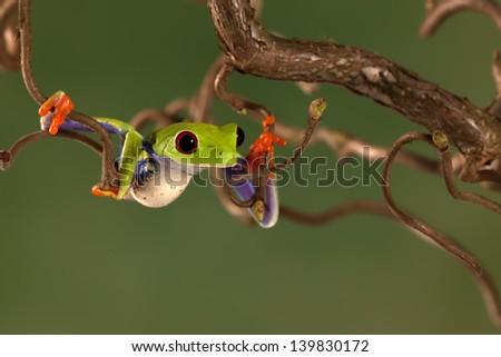 Red Eyed Treefrog climbing a tree - stock photo