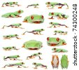 Red-eyed Treefrogs, Agalychnis callidryas, in front of white background - stock photo