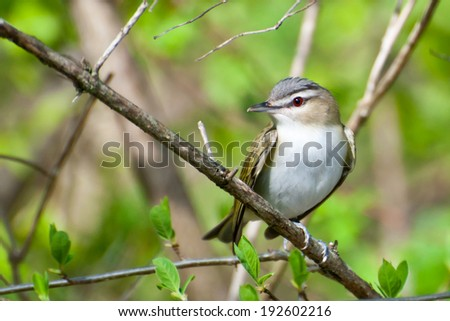 Red-eyed Vireo - stock photo