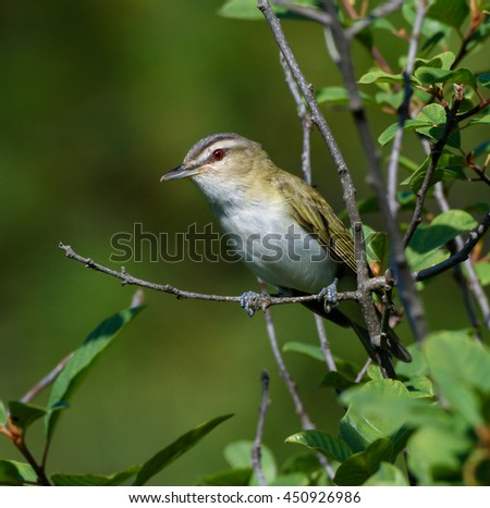 Red-Eyed Vireo on Green Background