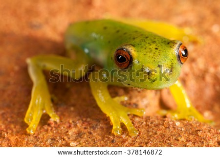 Red eyes green frog on brown ground