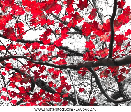 Red Fall leaves contrast on black and white background - stock photo