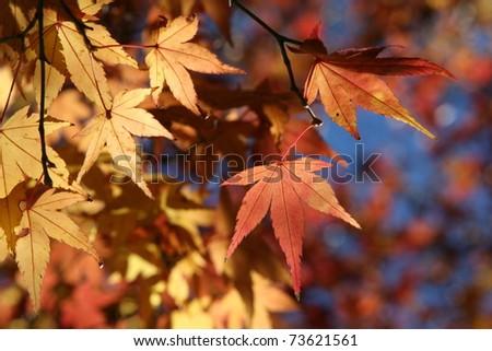 red fall maple leafs illuminated - stock photo