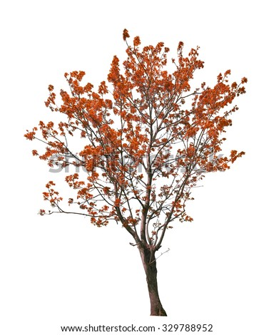 red fall tree isolated on white background