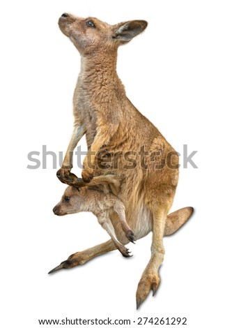 Red female kangaroo, Macropus rufus, with a baby in her pocket, isolated on white background. Concept of tenderness, protection and love. - stock photo