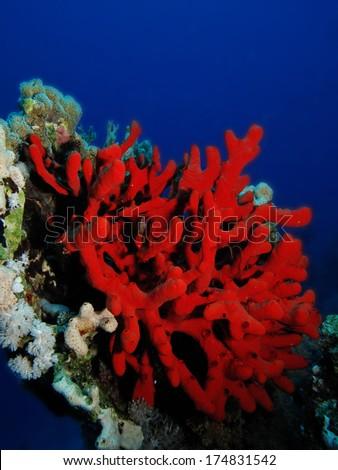Red finger sponge - stock photo