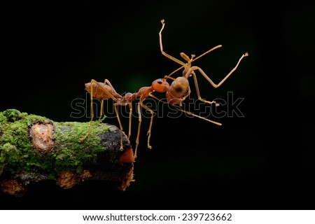 Red Fire Ant - stock photo