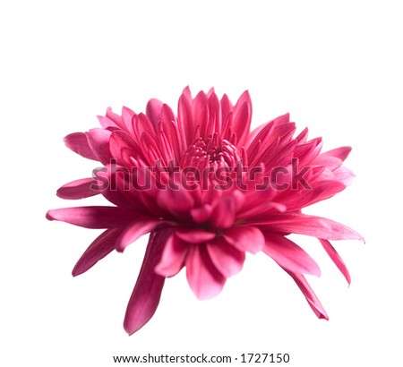 Red flower bloom isolated on white. - stock photo