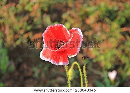 Red flower close-up./Poppy. - stock photo