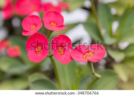 Red flower Euphorbia milli,Crown of thorns or Christ Thorn