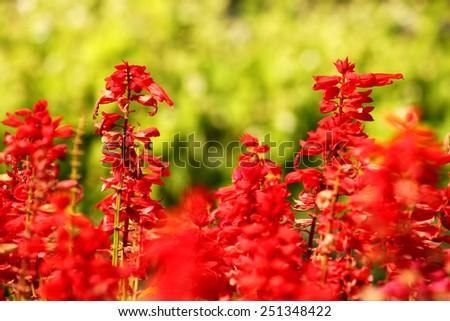 Red flower in the garden - stock photo