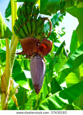 Red flower of a banana against green leaves - stock photo