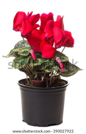 red flower of cyclamen in a pot isolated on white background - stock photo