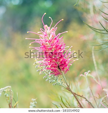 Red flower of the Grevillea plant native to Australia - stock photo
