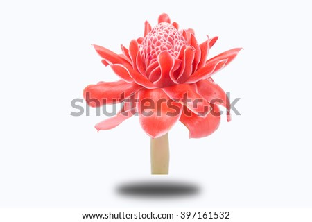 Red flower of torch ginger, etlingera elatior family zingiberaceae isolate with clipping path on white background - stock photo