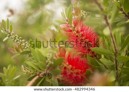 Red flower puff and green leaves background. Red Bottle Brush Flower - Calistemon Citrinus