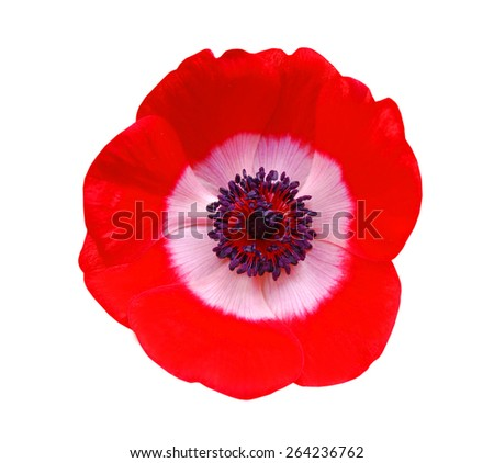 Red flower spring blossom seasonal illustration. Anemone isolated on white - stock photo