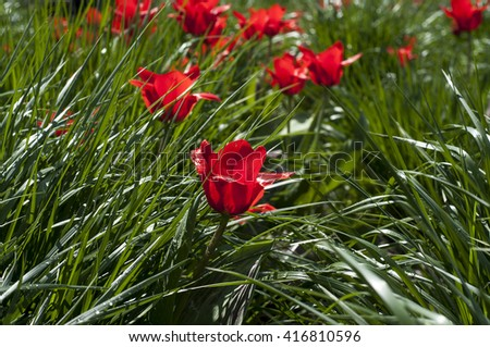 Red flowers and green grass after rain - stock photo