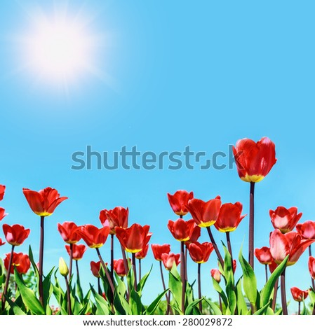 red flowers blooming tulips against the sky and sun. Focus on high-tulip