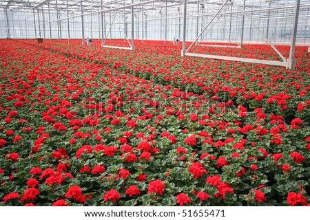 Red flowers in a greenhouse - stock photo