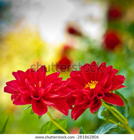 Red flowers in garden background. Dahlia closeup. Autumn background. - stock photo