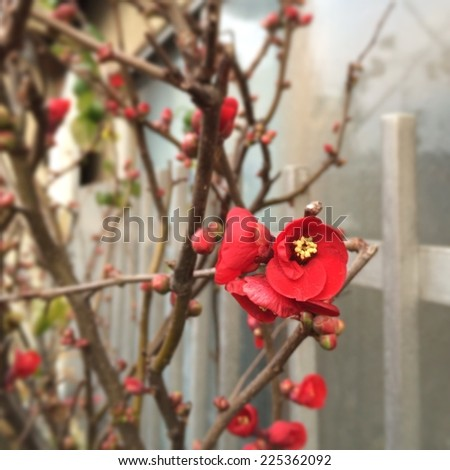Red flowers with yellow centers grow from branches next to a white fence. - stock photo