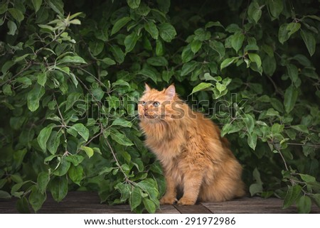 red fluffy cat outdoors in summer - stock photo