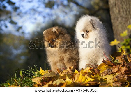 red fluffy Pomeranian on a swing in the autumn park - stock photo