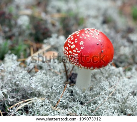 Red fly agaric close up growing from a lichen - stock photo