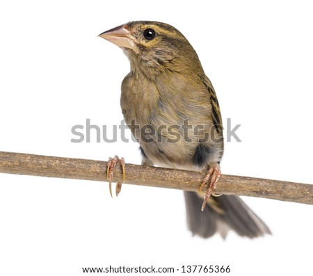 Red Fod perched on a branch - Foudia madagascariensis, isolated on white