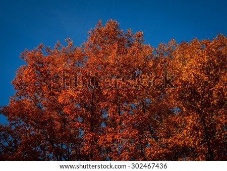 red foliage of autumn trees over the blue sky - stock photo
