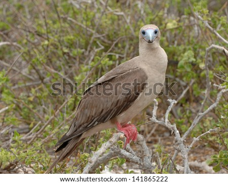 Red-Footed Booby, Galapagos Islands - stock photo